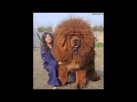 20 Biggest Dog In The World/ بزرگترین سگهای دنیا