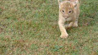 Lion cub trying to walk (Leãozinho tentando andar )
