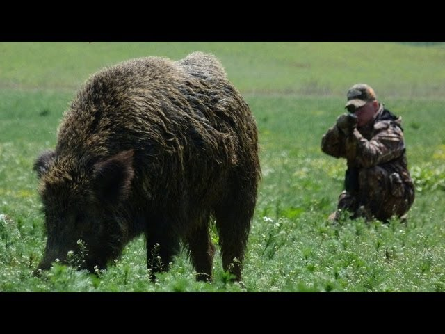 Hunting Giant Wild Boar in Hungary