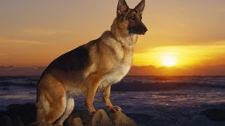 4 you - Funniest German Shepherd Videos #3