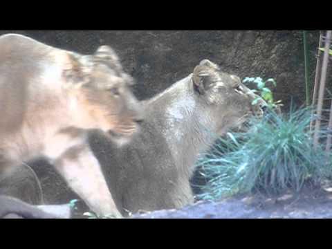 上野動物園のライオン。Ueno Zoo lion.