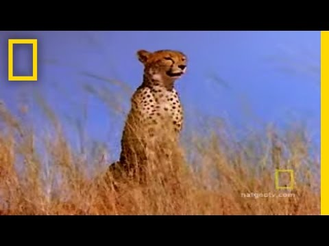 Fast and Furious: Cheetah vs. Gemsbok