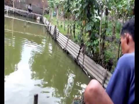 Mancing ikan mas (banyak rembesan)