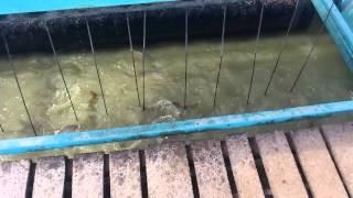 Автокормушка рефлекс для прудового карпа