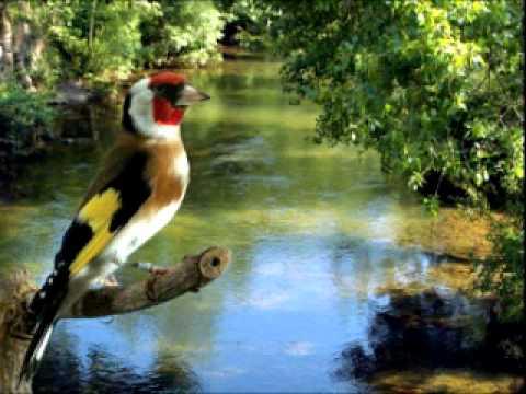 chant de chardonneret / goldfinch song