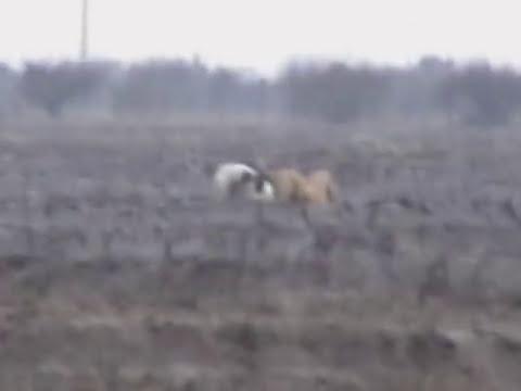 caza de liebres con galgos parral-chile.VOB