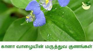 கானா வாழையின் மருத்துவ பயன்கள் Medicinal Uses of Commelina Benghalensis