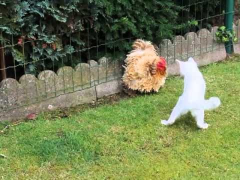 Tavuk ve Kedi Kavgası - chicken cat fight