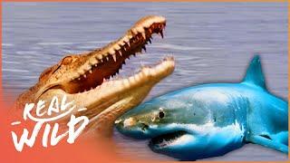 The Predator's Bay [Crocodile Documentary]   Wild Things