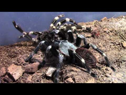 Tarantulas, now for sale!