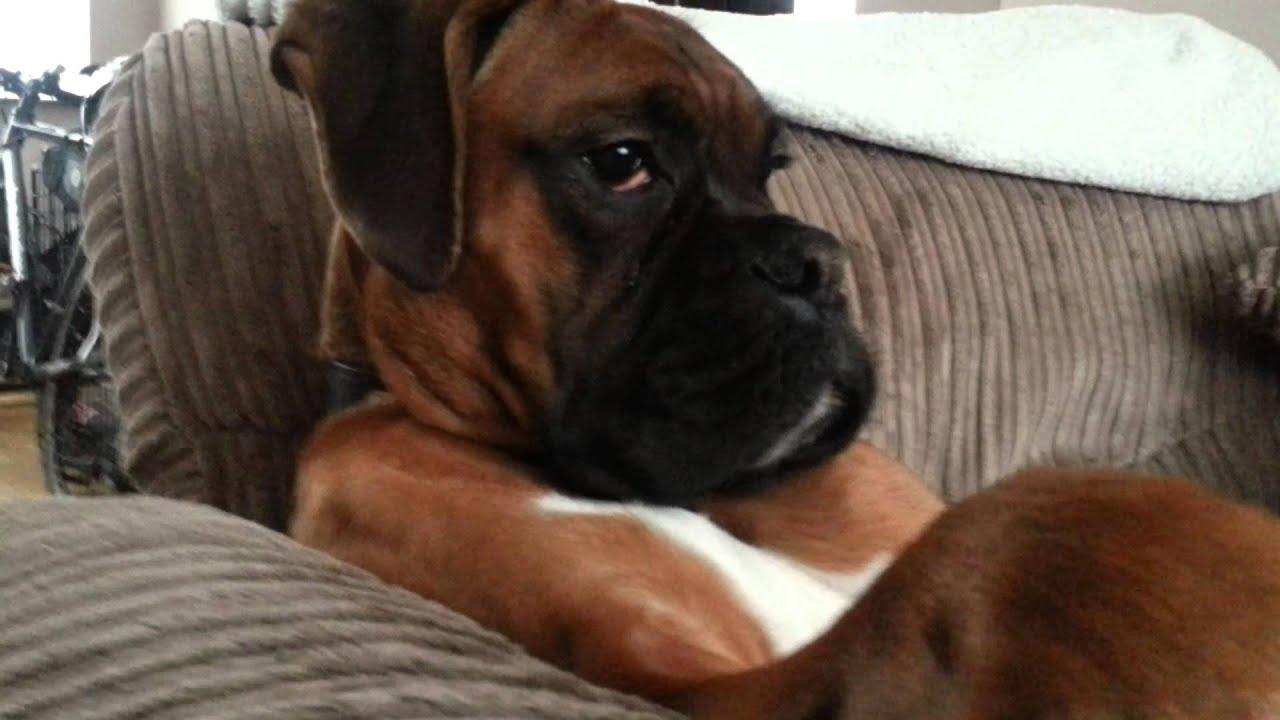 ralph the boxer dog   youtube