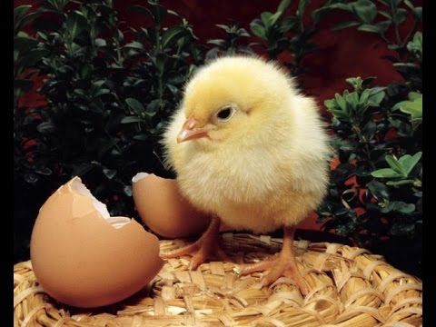 Вылупление цыплёнка.