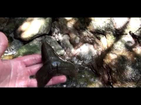 Hunting for megalodon teeth, shark teeth, fossils, and arrowheads in Summerville, SC