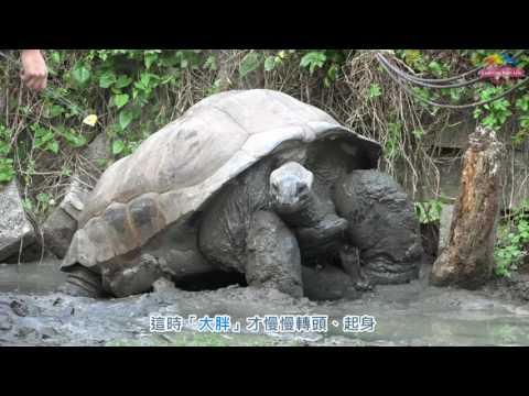 台灣-臺北市立動物園-EP 151 天冷陸龜怎麼照顧〜保育員幫忙抱回「家」