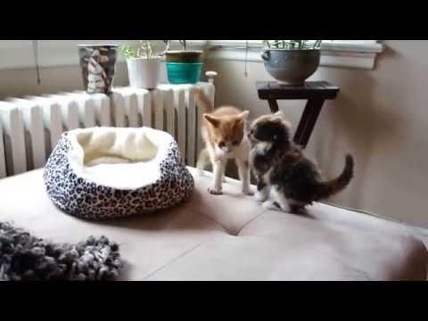 2匹の子猫がソファでじゃ...
