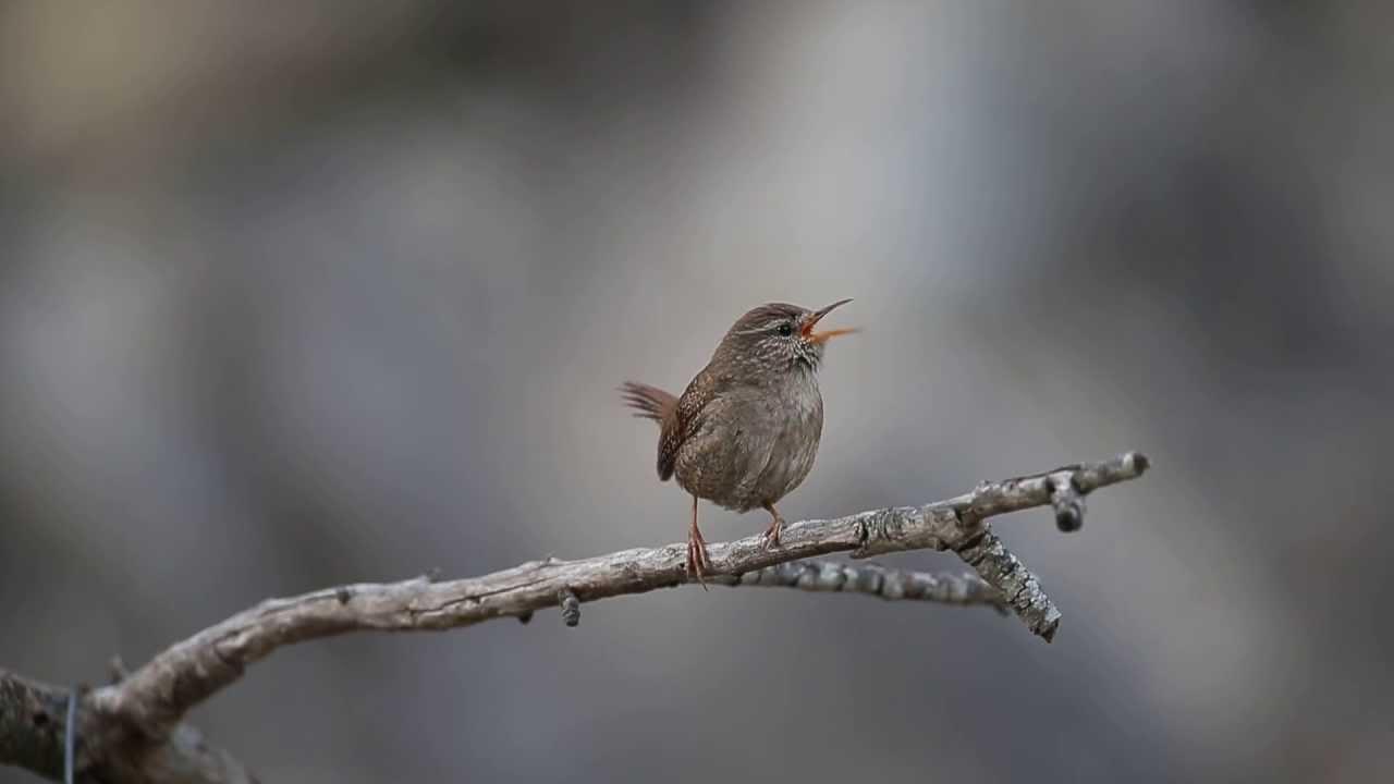 Winter Wren  Audubon Field Guide