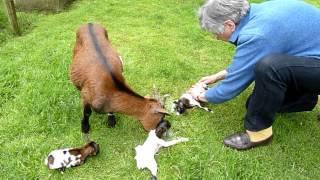 3 jonge geitjes in Stevensbeek D.m4v
