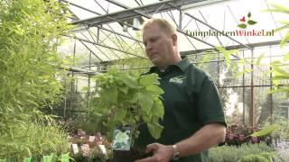 Uitleg en tips over de Hydrangea arborescens 'Annabelle' door onze tuinplantenwinkel.nl specialist