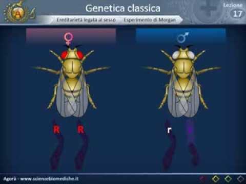 Biologia 17 - Leggi di Mendel, linkage, ereditarietà sex-linked