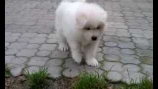 Samoyed puppy Alfa Romeo Markson Virta Valo FCI 42 days