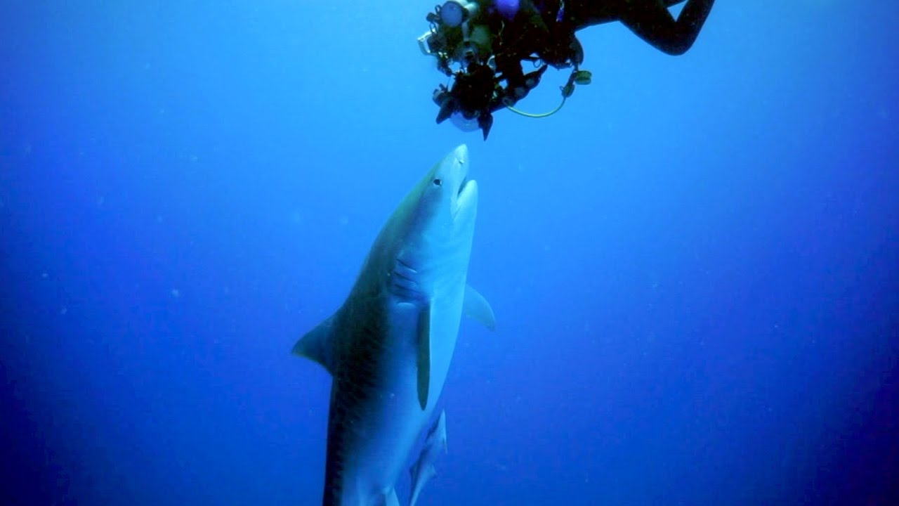 [Diver Comes Face To Face With Tiger Shark] Video