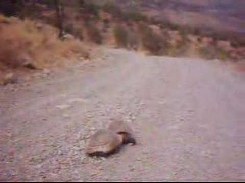Turtle Rape - The real life story w/audio Video