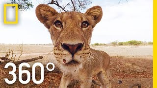 Lions 360°  National Geographic