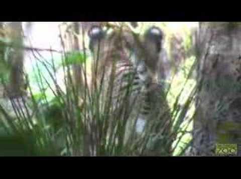 Tiger Cub Preview