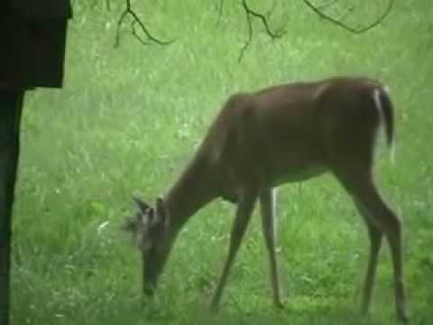 deer eating a bird