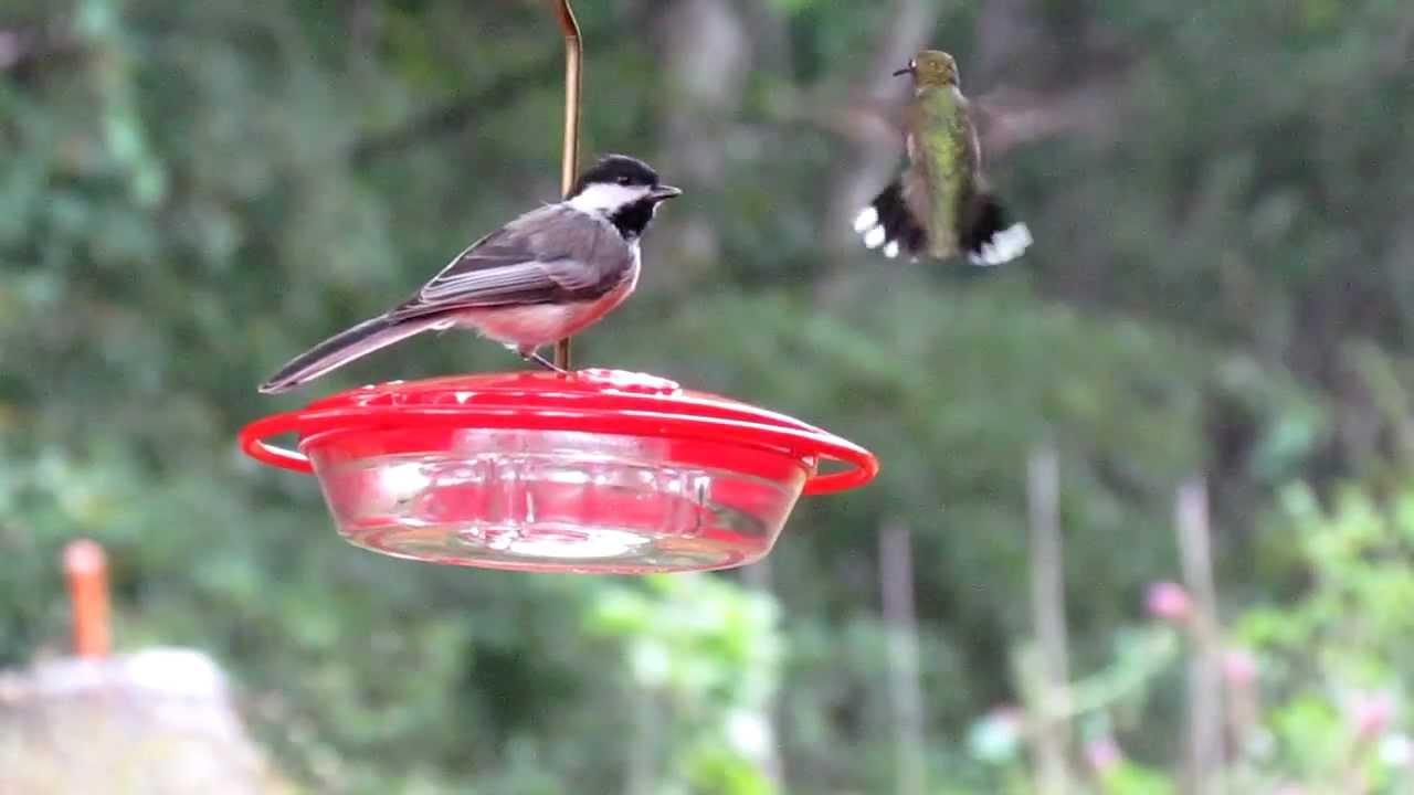 Chickadee Hummingbird Feeder Hummingbirds Chickadee at