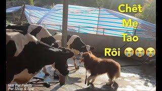 Mật chui vào Chuồng Bò Đòi Cân Cả Team Bò Sữa và cái kết hèn hạ cười quỳ lạy Mật Pet Family