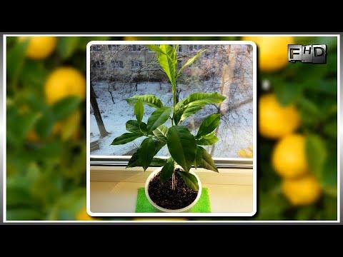 """Как вырастить дома лимон из косточки (часть-5) """"Отбор лучших сеянцев и их удачная зимовка"""""""