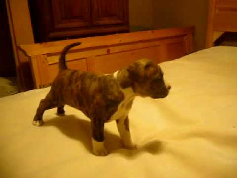 Brindle Pit Bull Puppy Playing