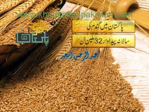 Pakistan  Wheat Production {ABDUL REHMAN AMJAD}