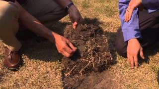 Central Florida Gardening-Nematodes In The Turf