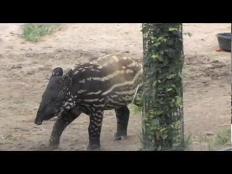 Denver Zoo Malayan tapir Baku is growing up fast!