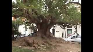 An interesting and giant roots of the tree from Lecce- Italy