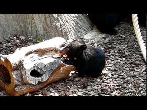 上野動物園のニホンツキノワグマの赤ちゃん。Baby Japanese black bear.#12