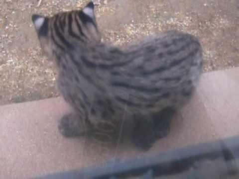 天王寺動物園 スナドリネコ赤ちゃん2 20090916 107