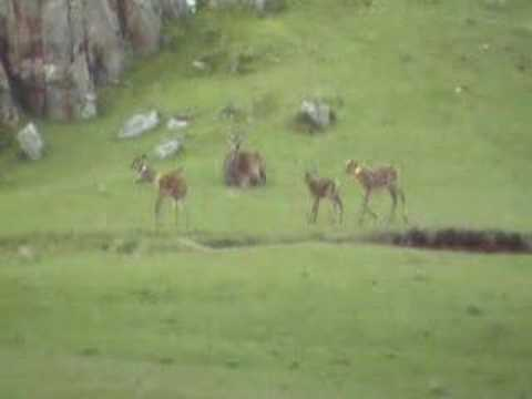 Thumbnail: Red Deer Calves Playing on Isle of Rum