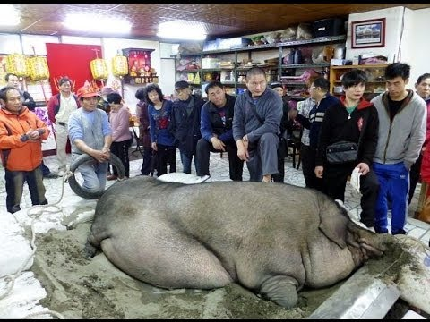 Largest pig in the world