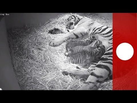 Rare newborn Sumatra tiger cubs filmed in London zoo - hidden camera footage