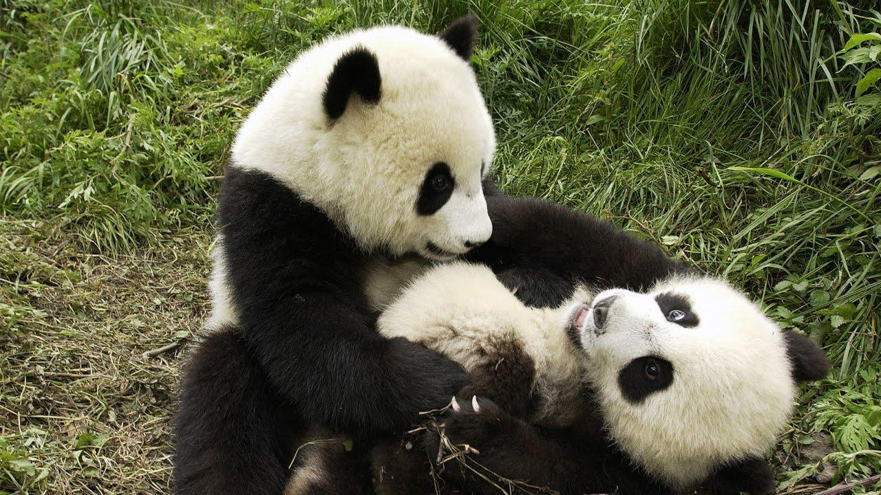 Cute Giant Panda Cute Giant Panda