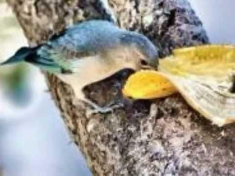 Aves do Brasil - O belo canto do sanhaço-azul.