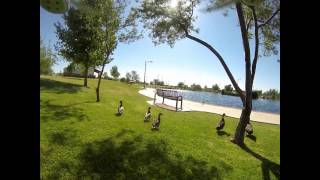 Flying a DJI Phantom at some ducks.