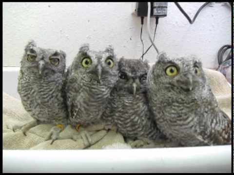 Screech Owls at WildCare - YouTube