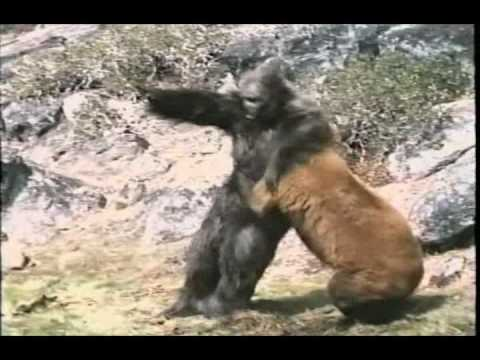 Re: Bear Vs. Gorilla