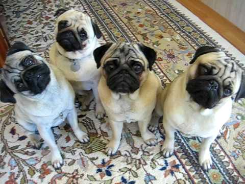 Pug Head Tilt X 4 Video