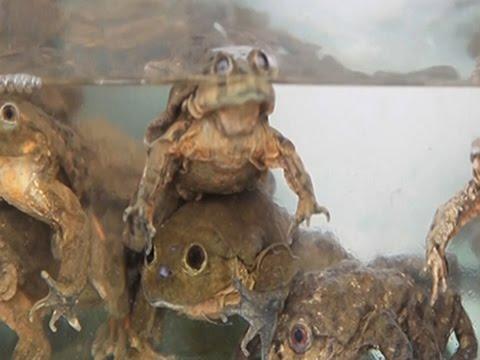 Peru's 'frog Juice' Claims Big Health Benefits