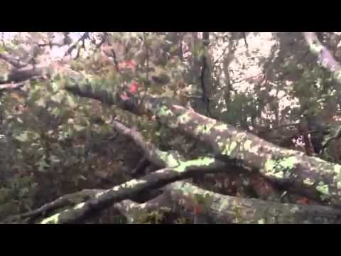 Trees knocked down by Hurricane Sandy Forked River NJ